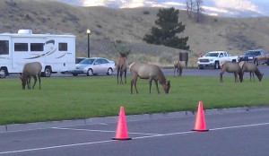 Elk Grazing At Hotel
